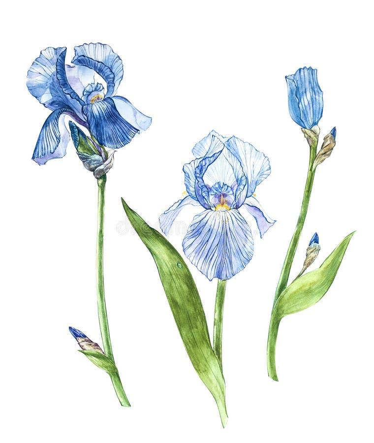 Fiori dell'iride Illustrazione botanica disegnata a mano dell'acquerello dei fiori isolati su un fondo bianco illustrazione di stock
