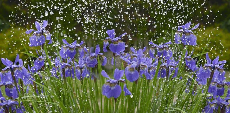 Fiori dell'iride in pioggia fotografie stock
