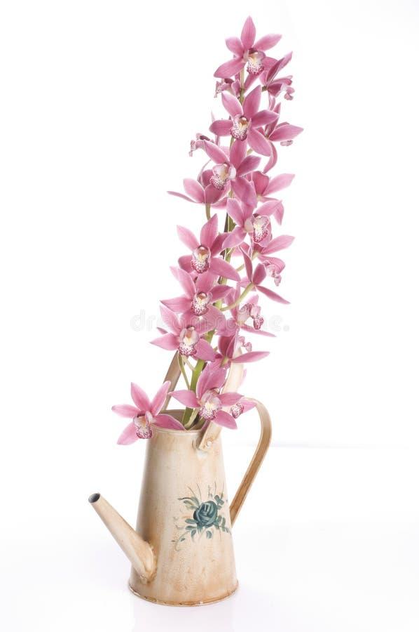 Fiori dell'orchidea della sorgente in una latta di innaffiatura fotografia stock libera da diritti