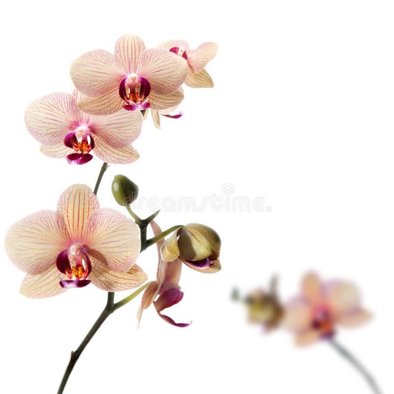 Fiori dell'orchidea di Phalaenopsis fotografia stock