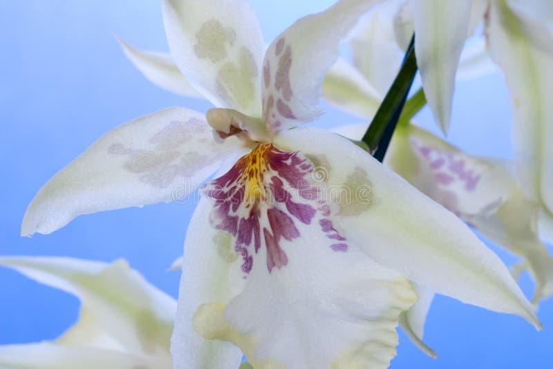 Fiori dell'orchidea sopra cielo blu immagine stock libera da diritti