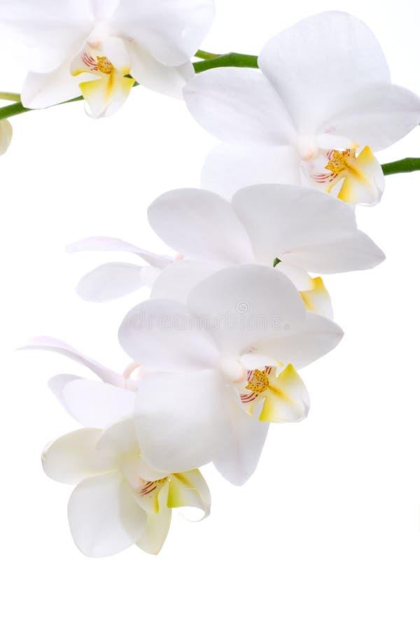 Fiori dell'orchidea su bianco immagini stock libere da diritti