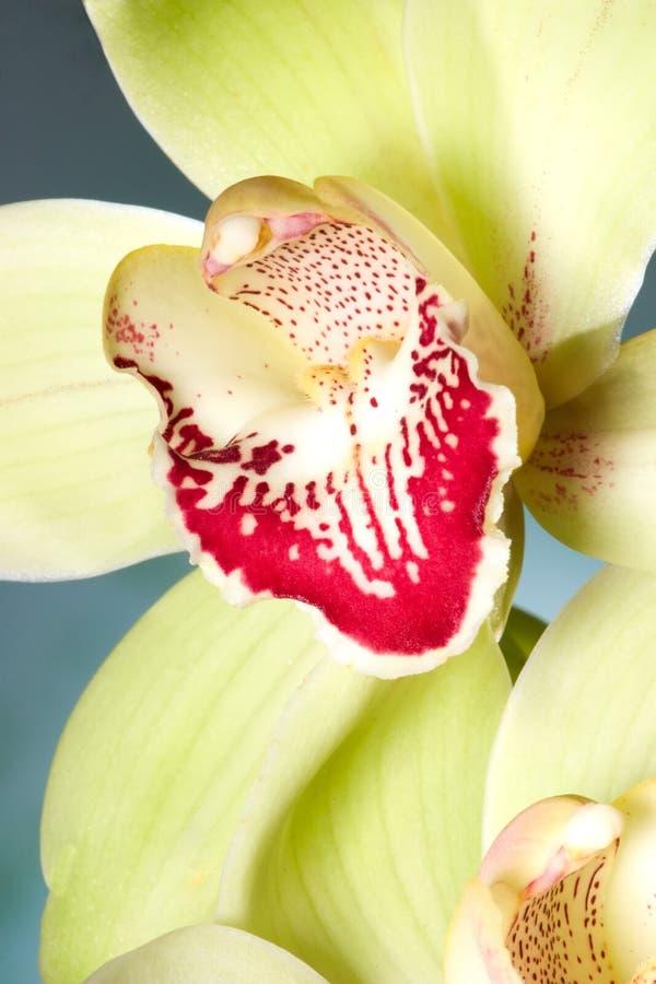 Fiori dell'orchidea sull'azzurro (SP del Cymbidium) immagini stock libere da diritti