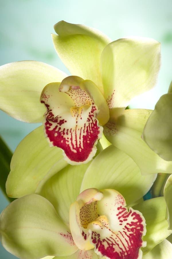 Fiori dell'orchidea sull'azzurro (SP del Cymbidium) immagine stock libera da diritti