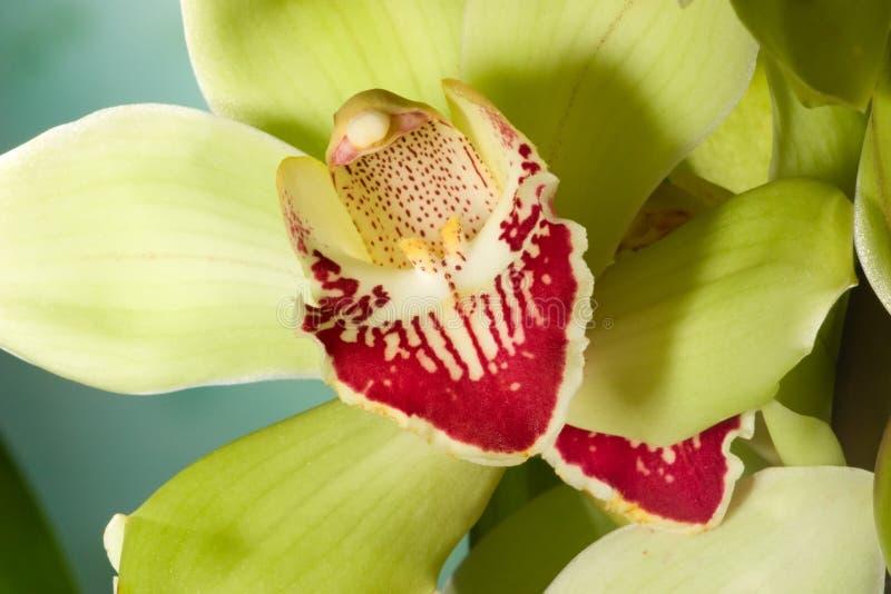 Fiori dell'orchidea sull'azzurro (SP del Cymbidium) fotografie stock