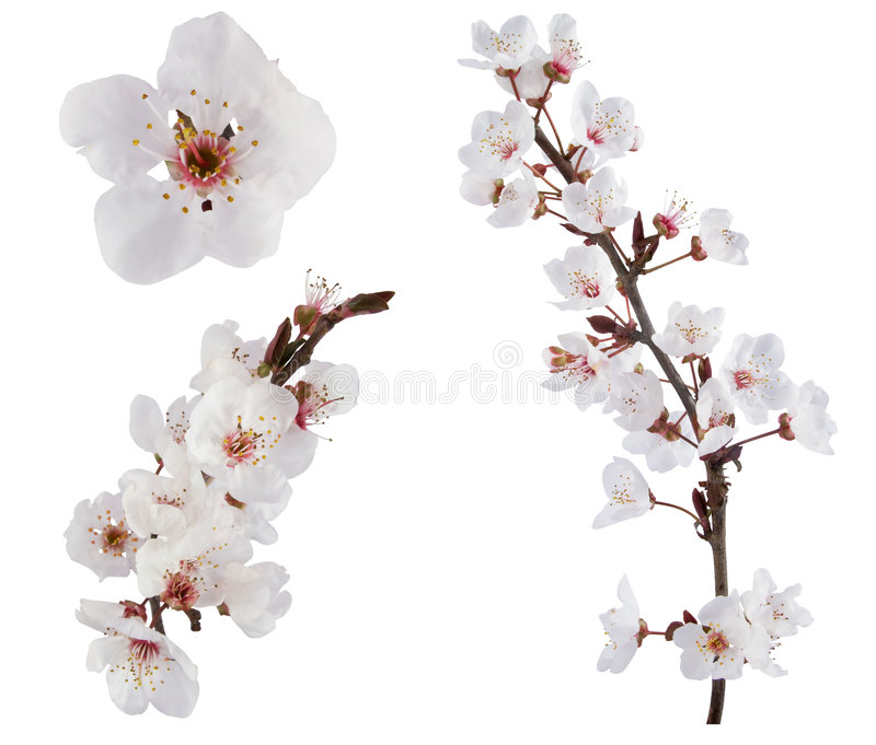 fiori dell'Prugna-albero. fotografia stock libera da diritti