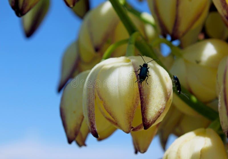 Fiori dell'yucca del Chaparral, della candela del nostro signore, della baionetta spagnola, dell'yucca di Quisciotte o dell'yucca fotografia stock libera da diritti