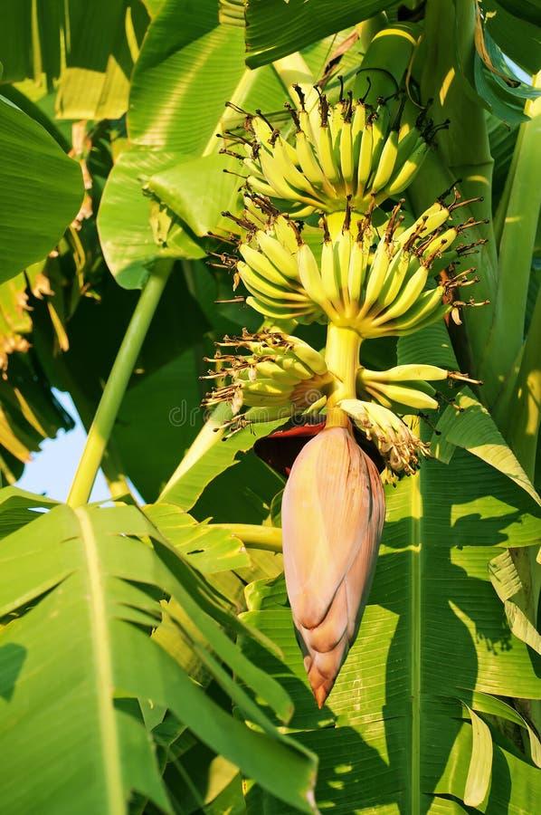 Fiori della banana fotografie stock