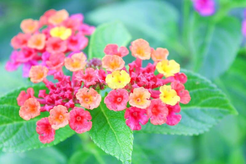 Fiori della barriera di Clorful, lantana camara che fiorisce nel giardino, salvia bianca del fondo della natura, panno di oro, la fotografia stock