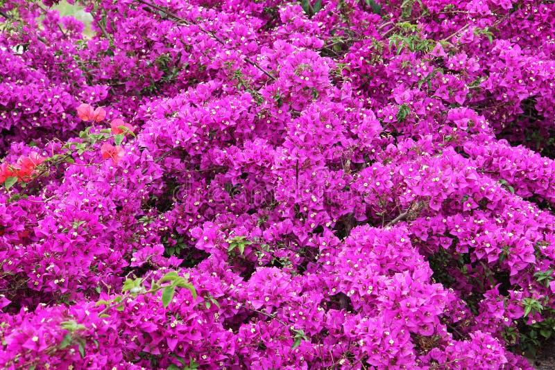 Fiori della buganvillea fotografia stock