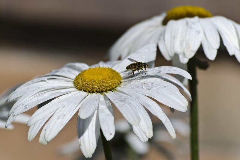Fiori della camomilla con una mosca immagine stock libera da diritti