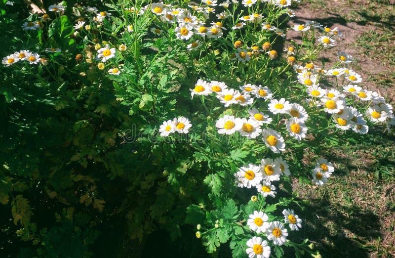 Fiori della camomilla in giardino immagine stock libera da diritti