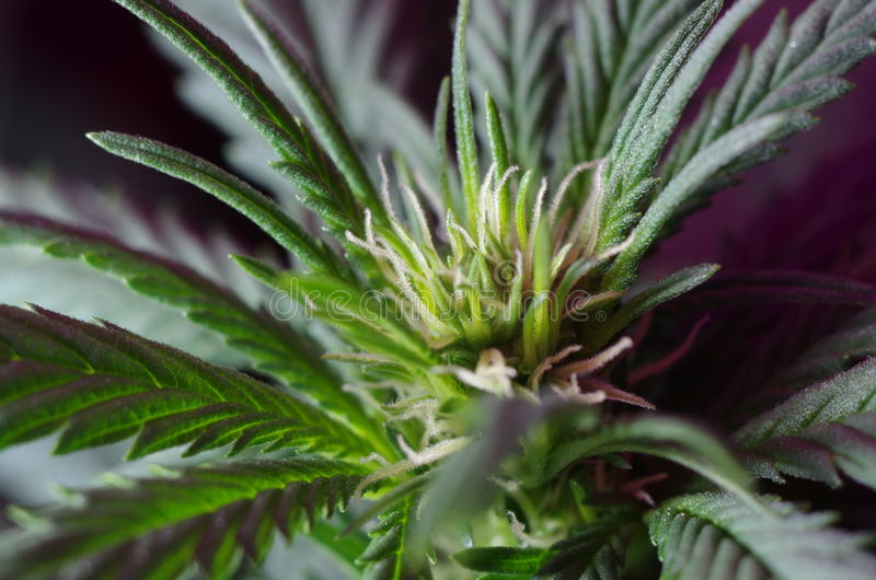 Fiori della cannabis fotografia stock