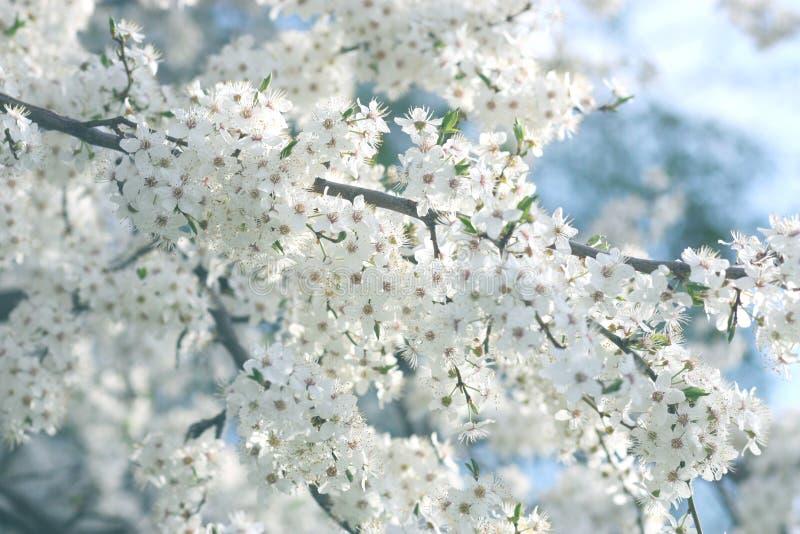 Download Fiori della ciliegia fotografia stock. Immagine di fresco - 55352098