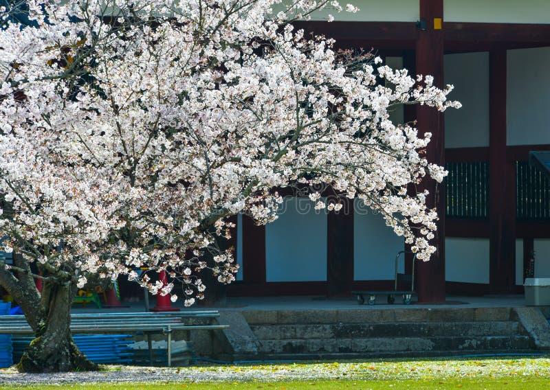 Fiori della ciliegia con costruzione antica immagine stock