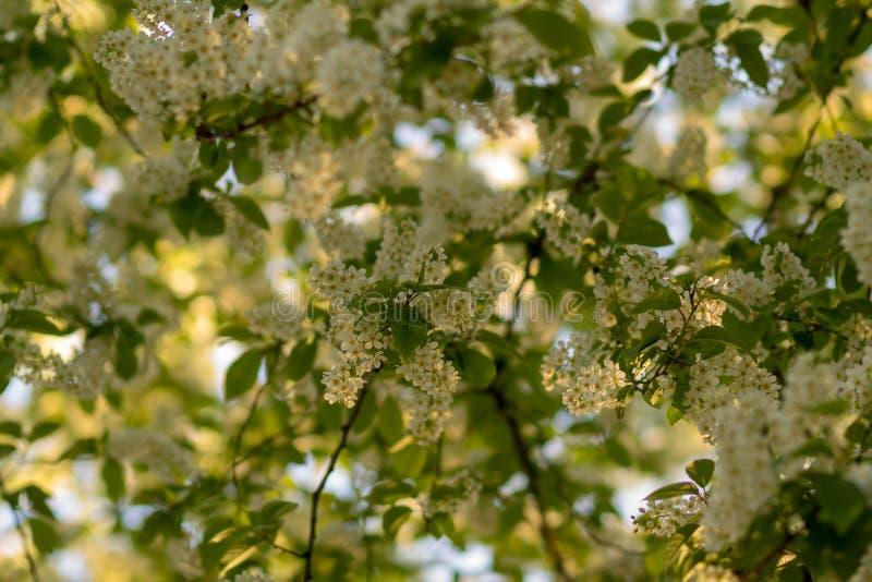 Fiori della ciliegia di uccello in fiore fotografia stock libera da diritti