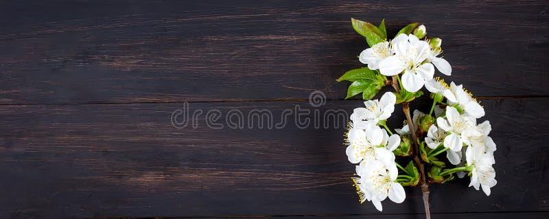 fiori della ciliegia su fondo di legno scuro fotografia stock libera da diritti
