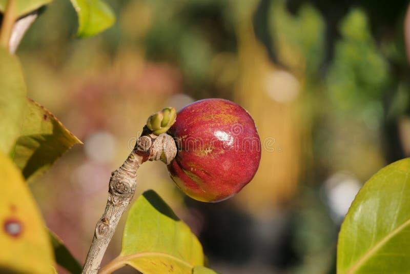 Fiori della ciliegia in sunsine immagini stock