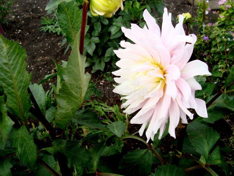 Fiori della dalia nel giardino di estate fotografie stock libere da diritti