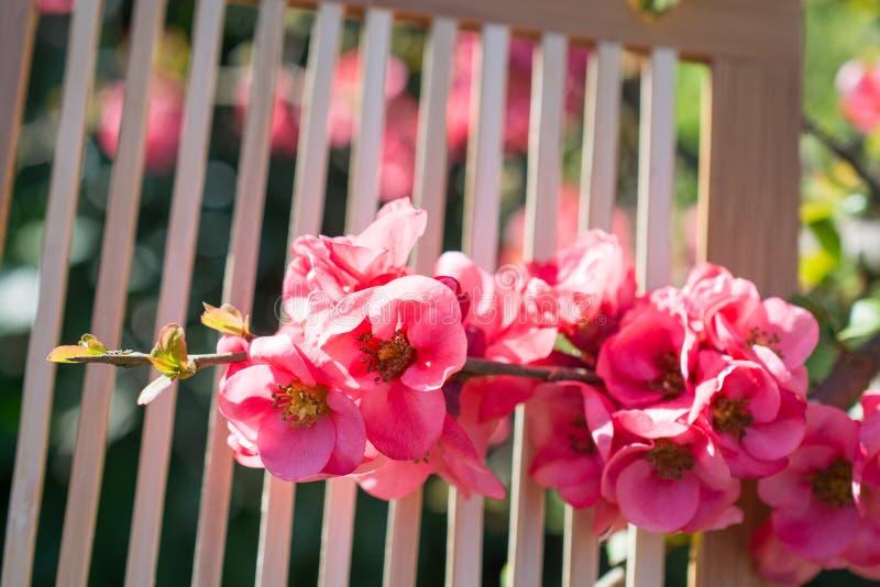 Fiori della fioritura dell'albero bei su un fondo immagini stock