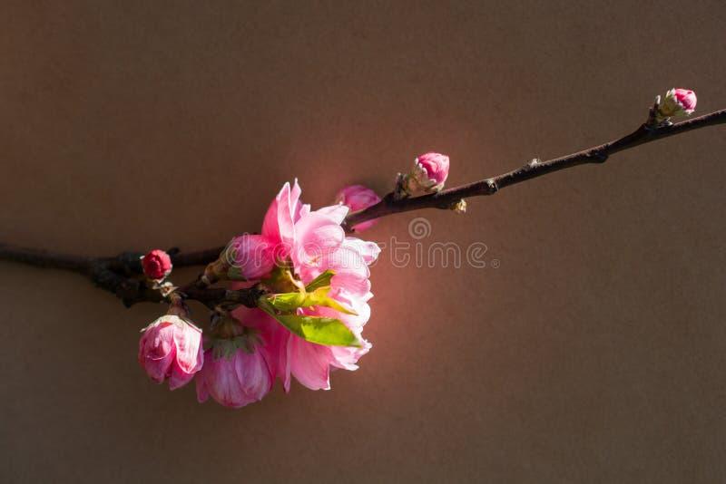 Fiori della fioritura dell'albero bei su un fondo fotografia stock