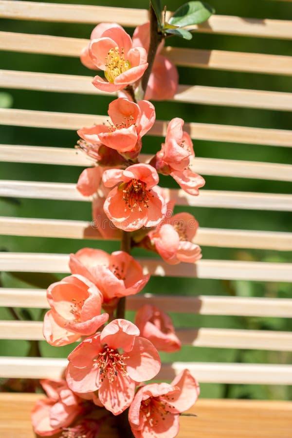 Fiori della fioritura dell'albero bei su un fondo fotografie stock