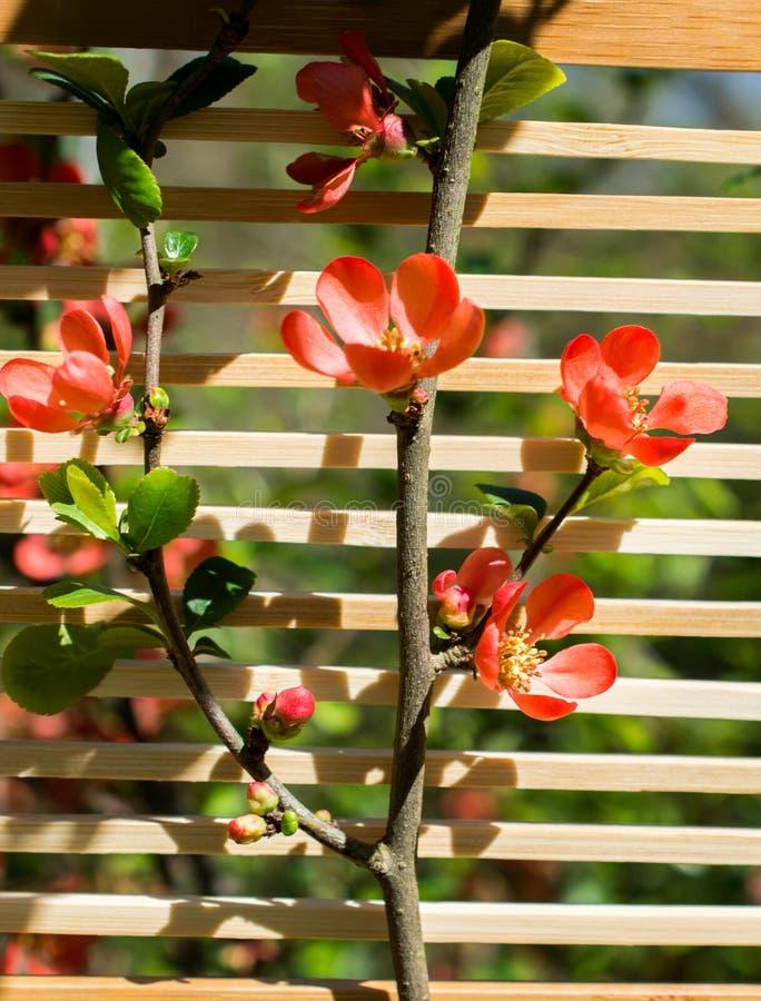 Fiori della fioritura dell'albero bei su un fondo fotografia stock libera da diritti