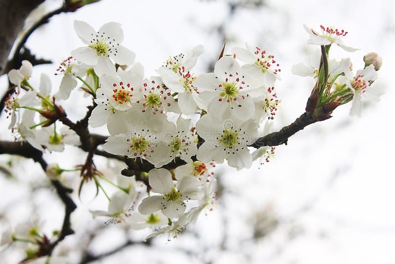 Fiori della foglia del primo piano dei fiori di ciliegia immagine stock