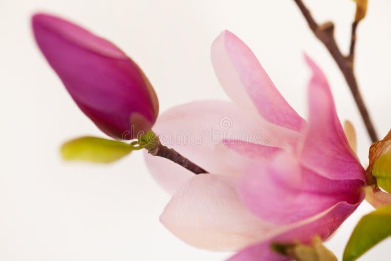 Fiori della Jane della magnolia fotografia stock libera da diritti