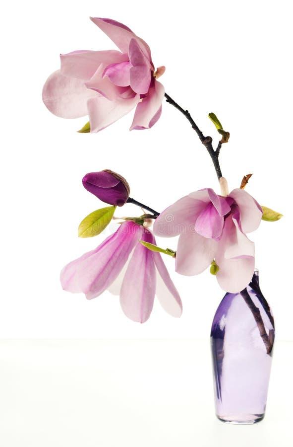 Fiori della Jane della magnolia fotografie stock libere da diritti
