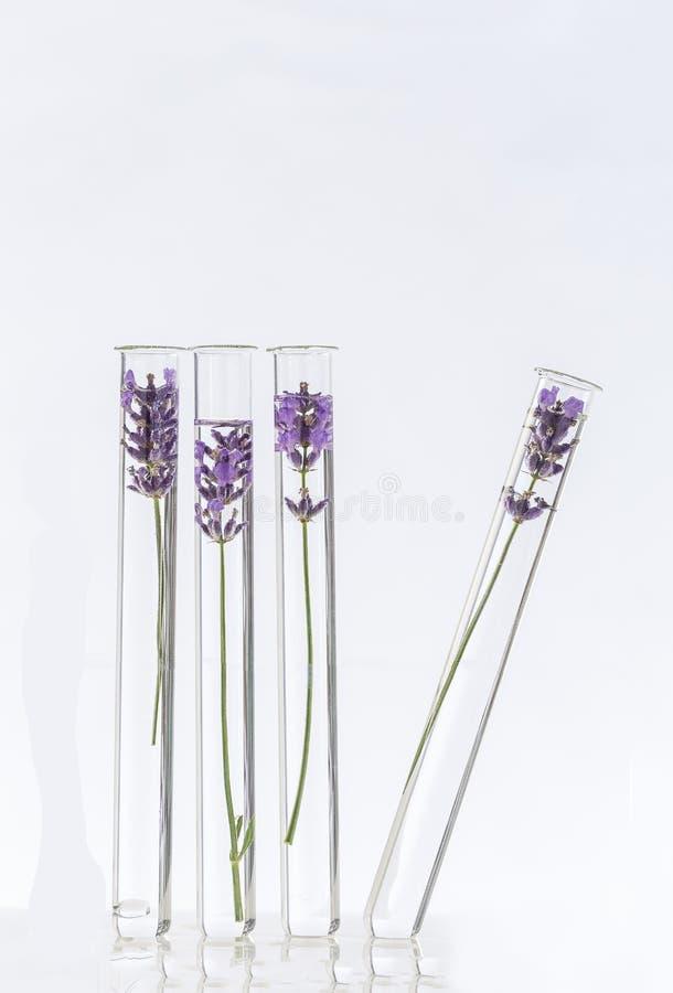 Fiori della lavanda del laboratorio di cosmetologia in provette immagini stock
