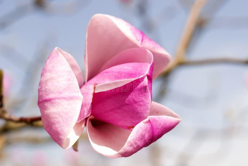 Fiori della magnolia contro il cielo blu Fiori rosa della primavera della magnolia immagine stock