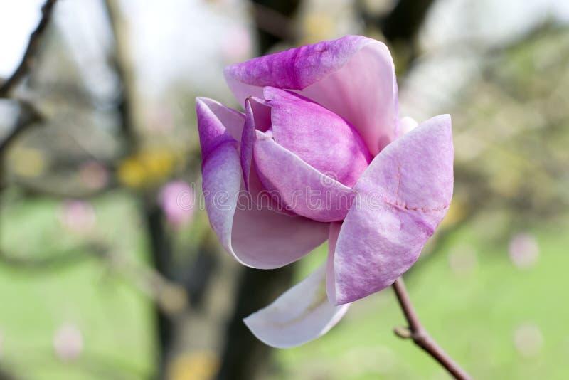 Fiori della magnolia contro il parco Fiori rosa della primavera della magnolia fotografia stock