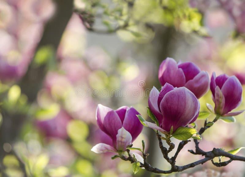 Fiori della magnolia della molla del primo piano Fondo floreale naturale della molla con il fuoco e la sfuocatura molli fotografia stock libera da diritti