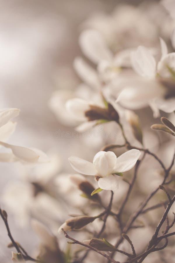 Fiori della magnolia nel giardino di primavera fotografia stock libera da diritti