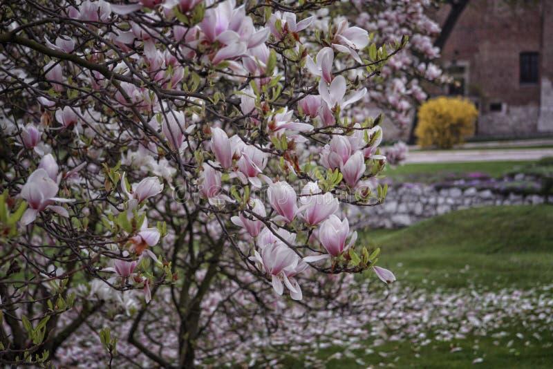 Fiori della magnolia nell'iarda fotografie stock libere da diritti