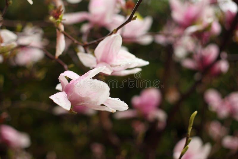 Fiori della magnolia su un ramo in molla in anticipo fotografia stock libera da diritti
