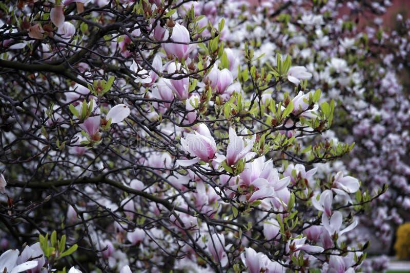 Fiori della magnolia sull'albero fotografia stock libera da diritti