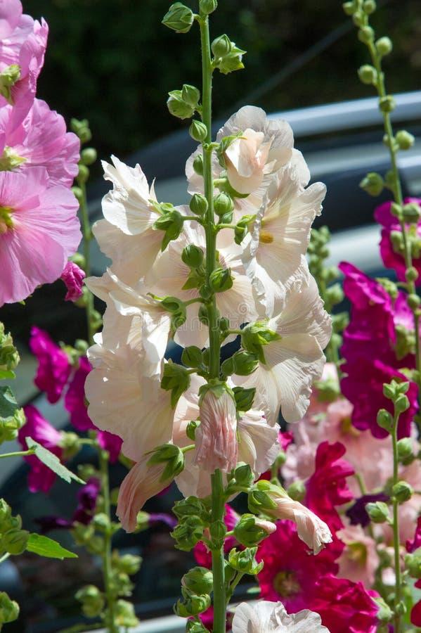 Fiori della malva una pianta erbacea con i gambi pelosi, il rosa o il pur immagine stock