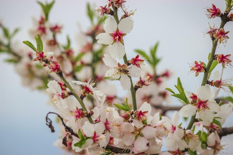 Fiori della mandorla con le tonalità rosa in piena fioritura a Badamwari Srinagar nel Kashmir con fondo sfuocato e retroilluminat fotografie stock