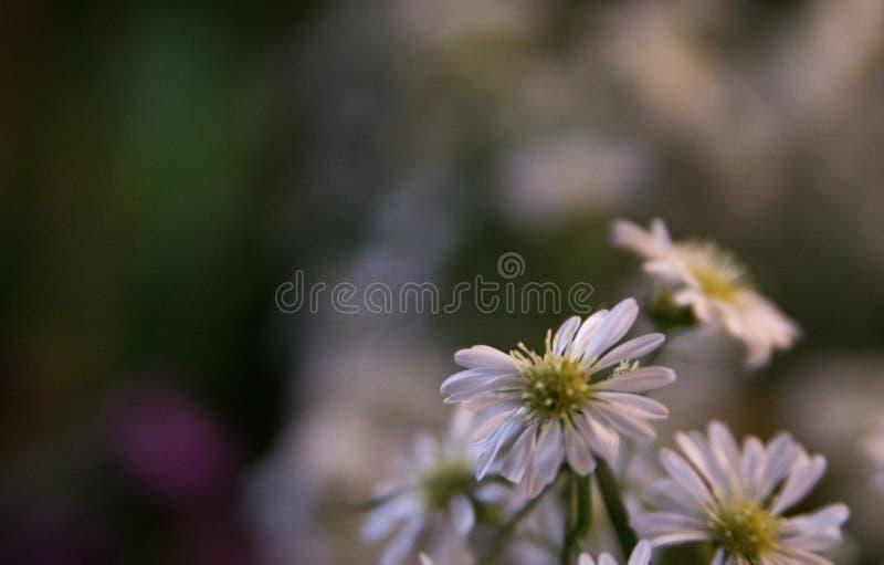 Fiori della margherita bianca con fondo confuso immagini stock