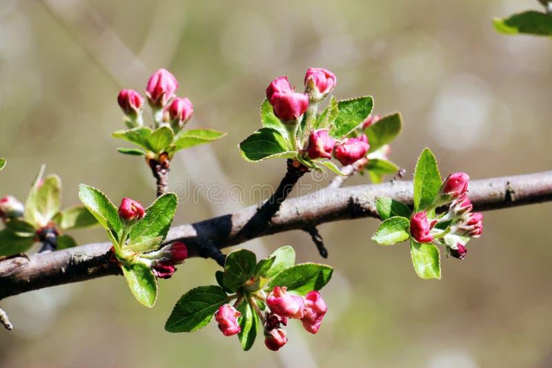 Fiori della mela fotografia stock libera da diritti