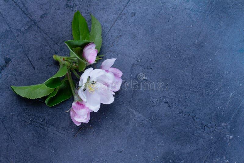 Fiori della mela dell'albero della primavera immagini stock