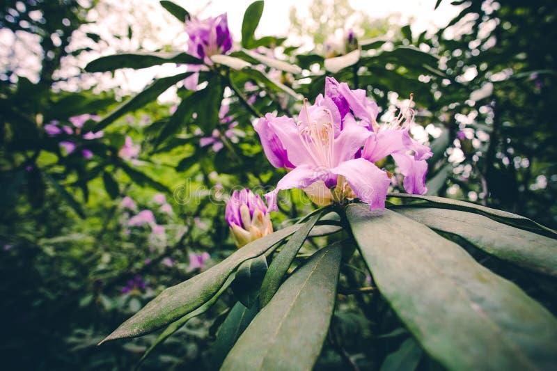 Fiori della molla di colore rosa del rododendro bei immagini stock libere da diritti