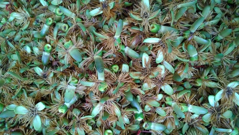 Fiori della palma sulla terra fotografia stock