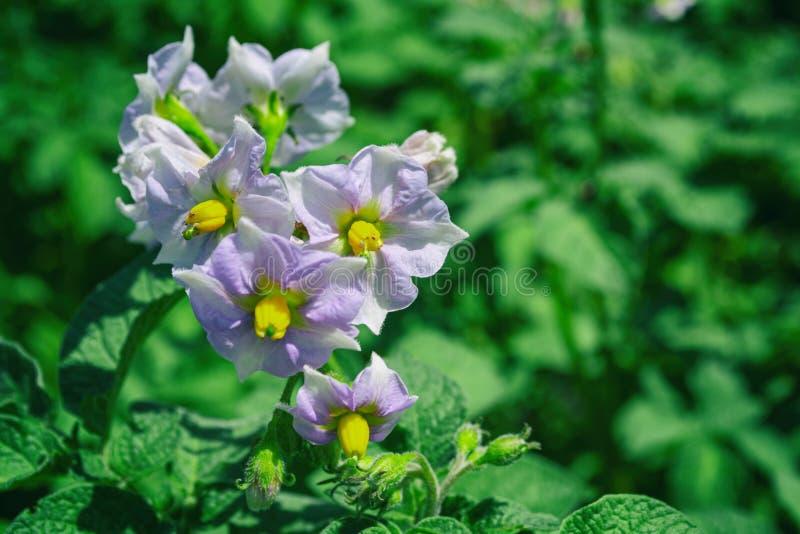 Fiori della patata nel giardino su fondo verde vago organico fotografia stock