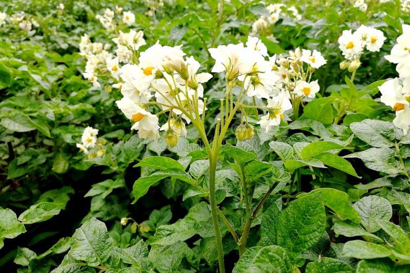 Fiori della patata nel giardino fotografia stock