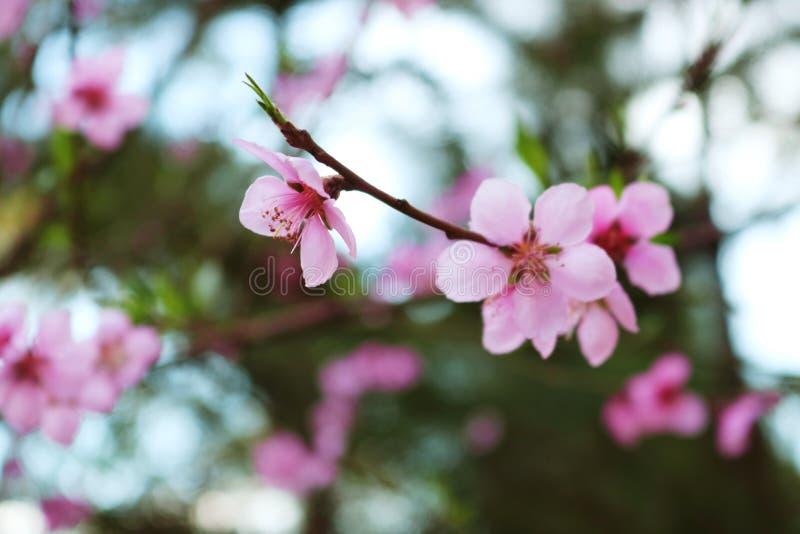 Fiori della pesca dei fiori con gli alberi nei precedenti immagini stock libere da diritti
