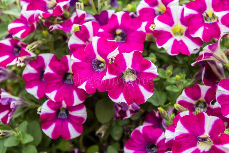 Fiori della petunia dentro nelle verdure saltate fotografia stock