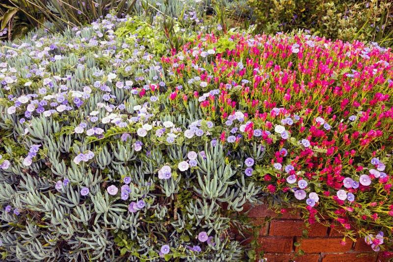 Fiori della petunia in giardino immagini stock libere da diritti